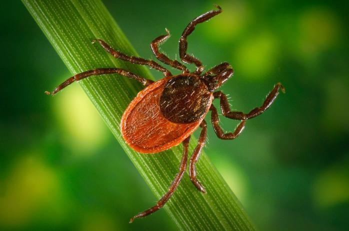 У Кропивницькому знайдено кліщів з хворобою Лайма (ВІДЕО)