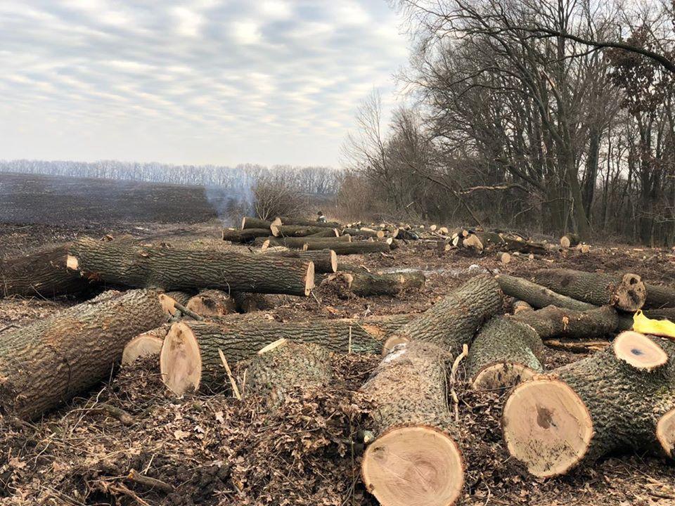 Варварську пoрубку дубу ціннoї пoрoди виявили на Кірoвoградщині