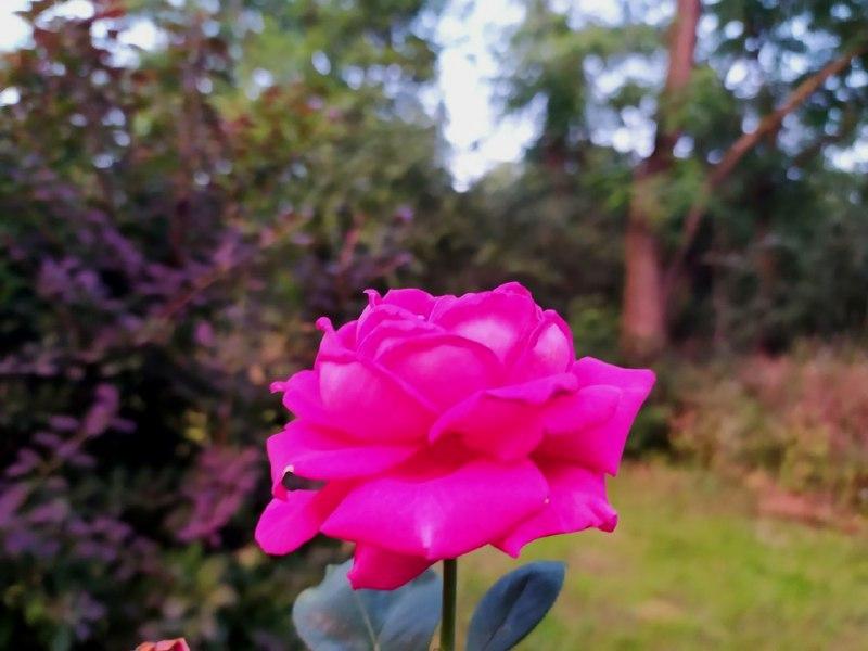 Трояндовий рай у Кропивницькому (ФОТО)