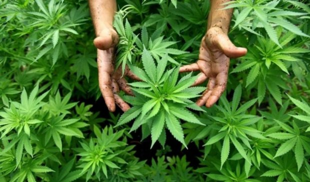 У Кропивницькому районі в домі ветеринара знайшли нарковмісні рослини