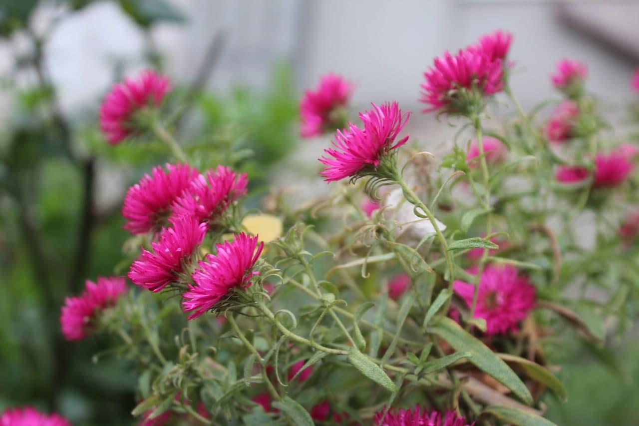 Останні квіти осені у двориках Кропивницького (ФОТО)